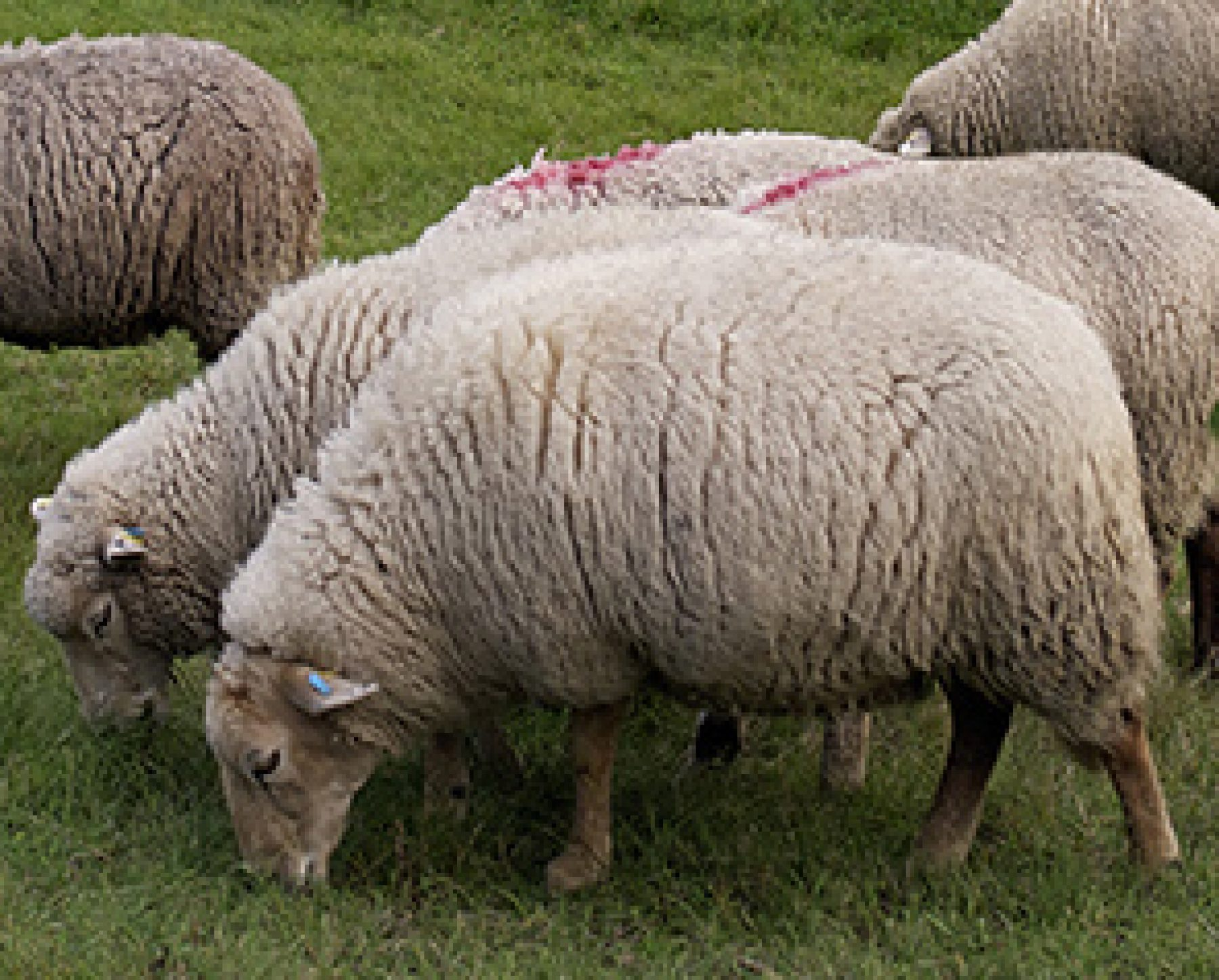 Schafe Ziege A