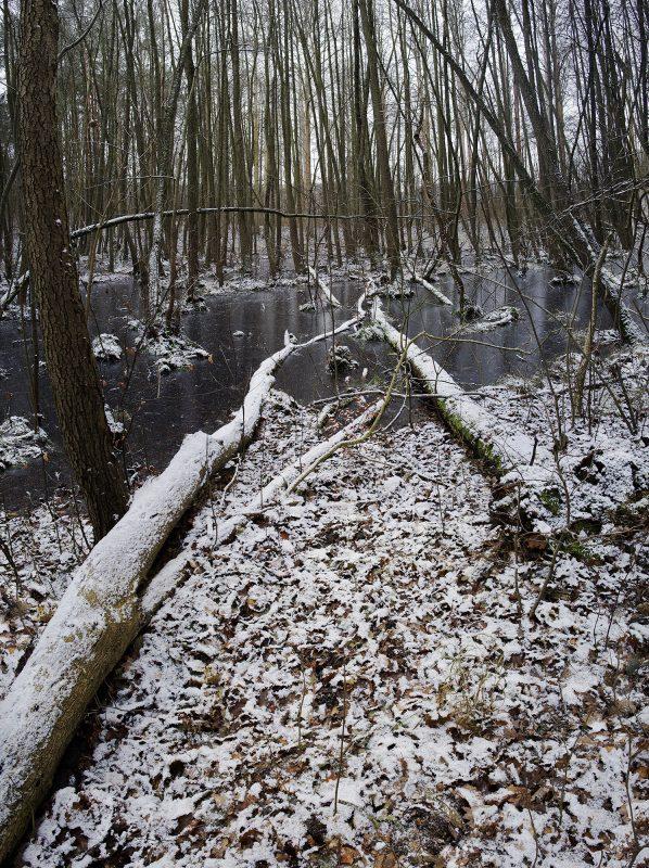 Baumstämme im Winter