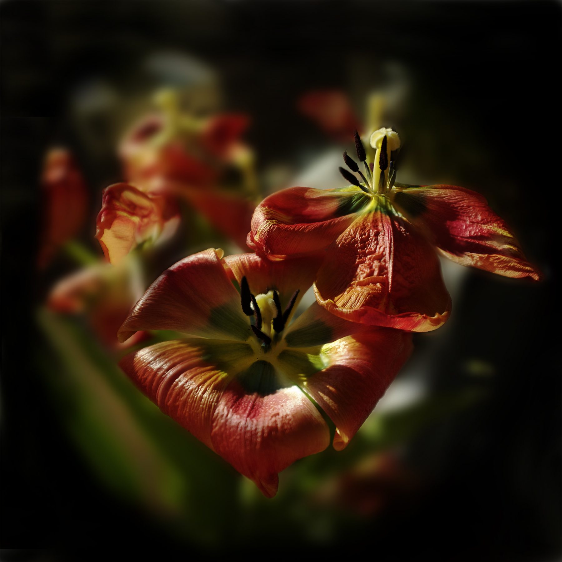 2 Tulpen geöffnet