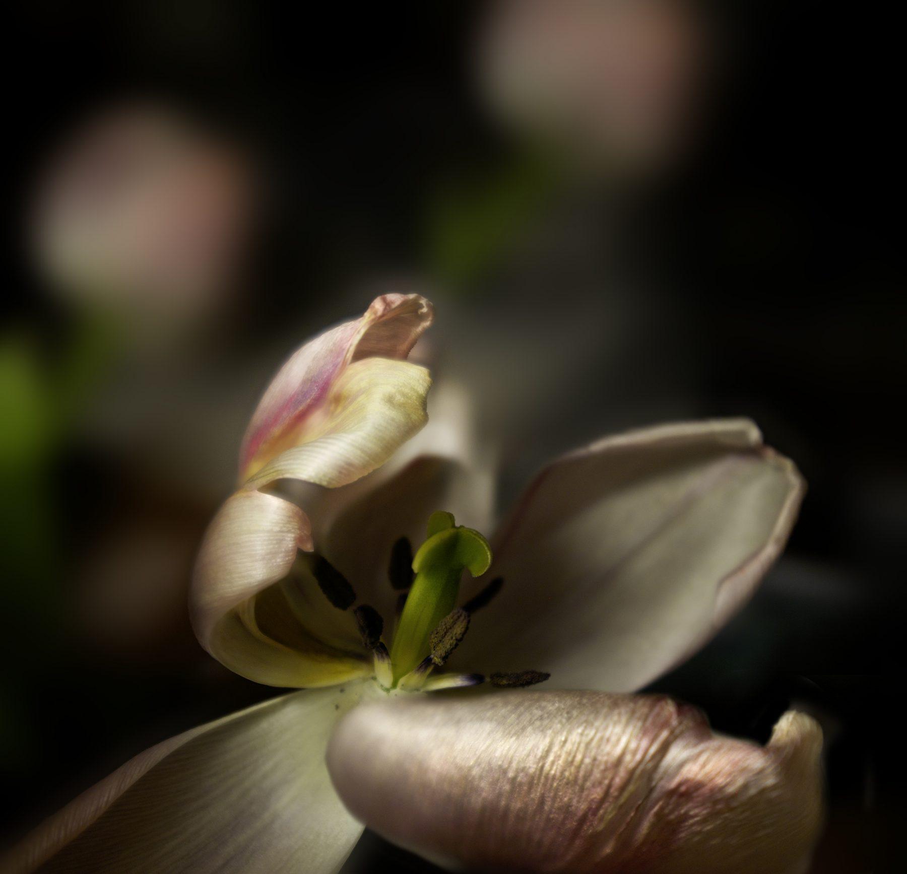 Tulpe 01