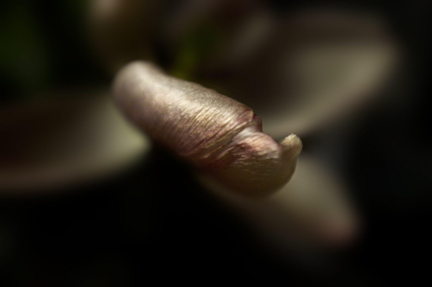 Tulpe02