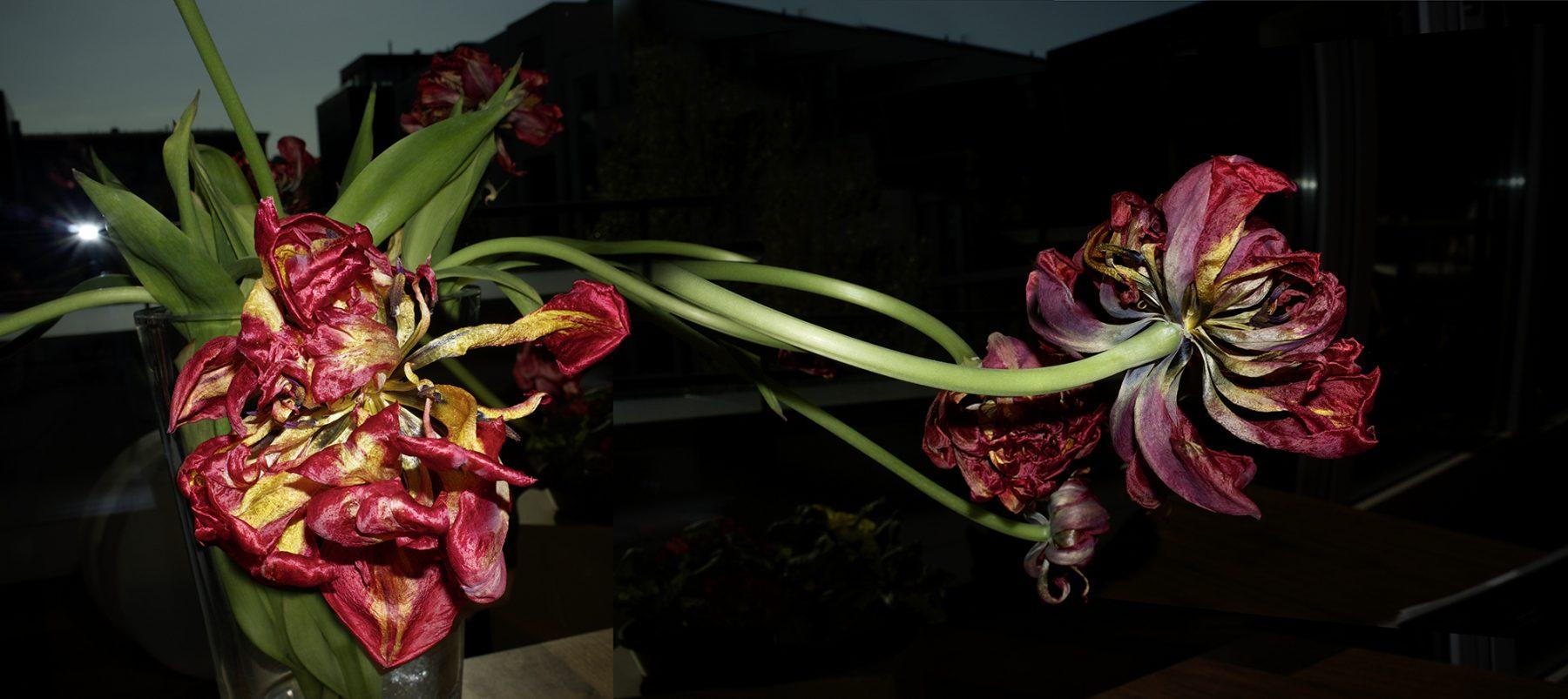 Alte Tulpen