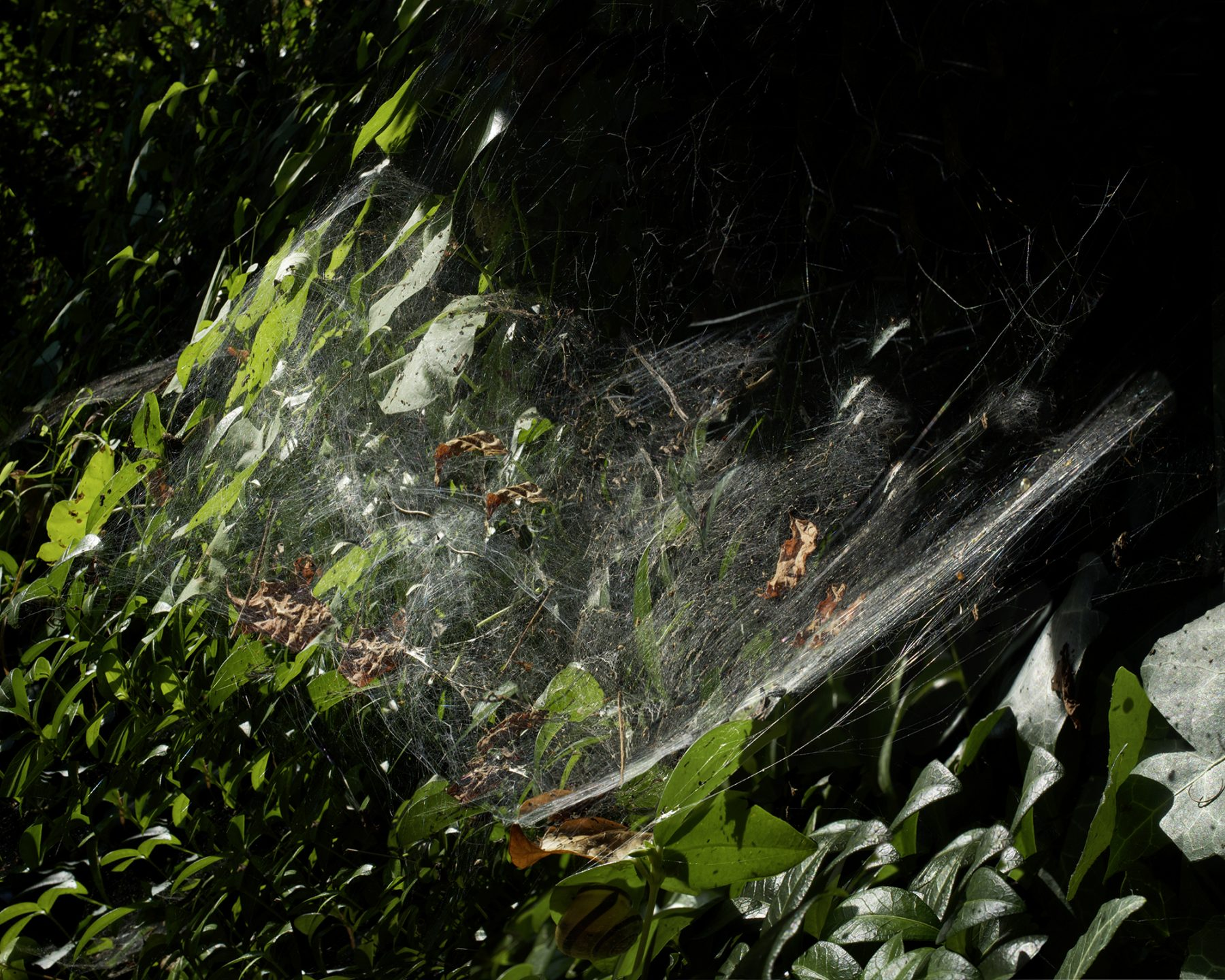 Spinne Schuppenquadrat
