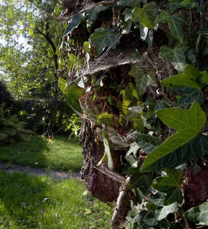 Alterbaum spinne