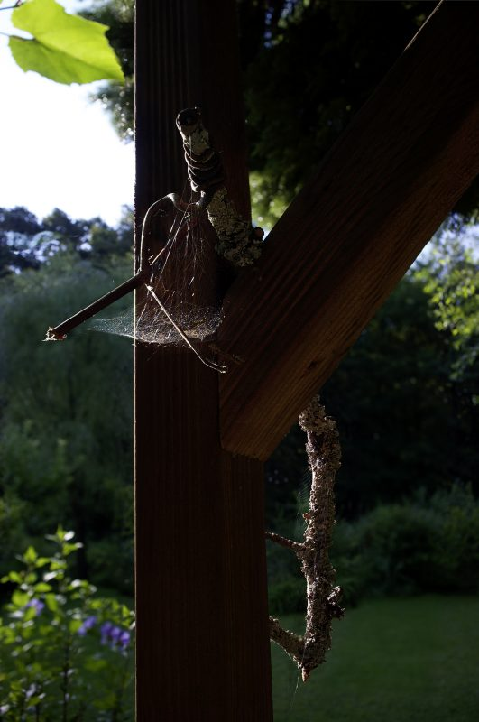 Spinneweinlaub