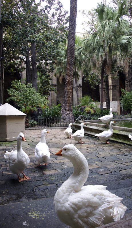 Barcelona, Heilige Gänse in der Catedral de la Santa Creu i Santa Eulàlia